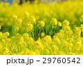満開の菜の花 29760542