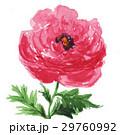 花 ラナンキュラス 手描きのイラスト 29760992