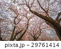 桜 29761414