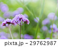 Purple verbena flowers 29762987