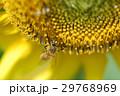 蜜蜂 29768969
