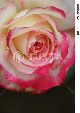 ツートンカラーの薔薇 3 29769006