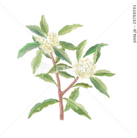 ジンチョウゲ 沈丁花のイラスト素材 29769591 Pixta