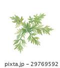 よもぎ 葉 水彩画のイラスト 29769592