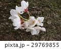桜 幹 開花 29769855