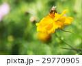 蜜蜂採蜜於黃色波斯菊花 bee & yellow flower 黄色の花の花粉採集蜂 29770905