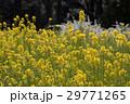 菜の花畑 29771265
