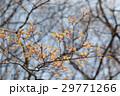 春の新芽  29771266