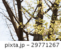 もみじの新緑 29771267