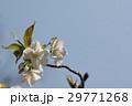 山桜 29771268
