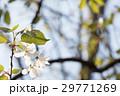 山桜 29771269