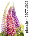 3本のノボリフジの花 29771302