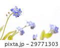 白バックのワスレナグサの花 29771303