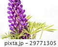 白バックの紫のノボリフジの花 29771305