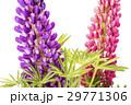 ピンクをバックに紫のノボリフジの花 29771306