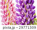 ピンクをバックに紫のノボリフジの花のアップ 29771309