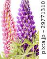 ピンクをバックに紫のノボリフジの花 29771310