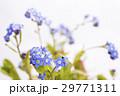 白バックのワスレナグサの花 29771311