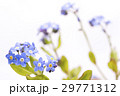 白バックのワスレナグサの花 29771312