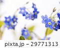 白バックのワスレナグサの花のアップ 29771313