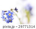 白バックのワスレナグサの花のアップ 29771314