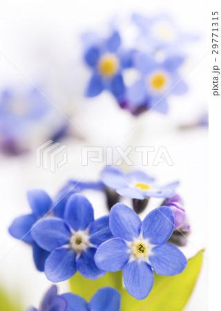 白バックのワスレナグサの花のアップ 29771315