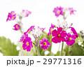 ピンクのプリムラの花 29771316