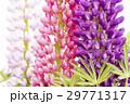 3本のノボリフジの花のアップ 29771317