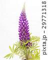 白バックの紫のノボリフジの花 29771318