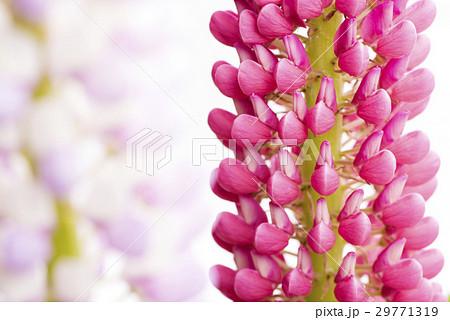 ピンクのノボリフジの花のアップ 29771319