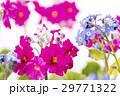 プリムラとワスレナグサの花 29771322