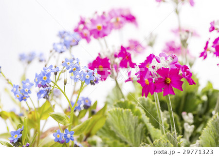 プリムラとワスレナグサの花 29771323