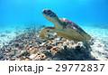 アオウミガメ ウミガメ 海中の写真 29772837