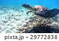 アオウミガメ ウミガメ 海中の写真 29772838
