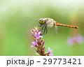 アキアカネ 29773421