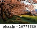 桜 29773689
