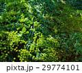 杉苔2 29774101