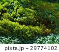 杉苔3 29774102
