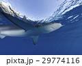 小笠原のメジロザメ 29774116