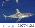 小笠原のメジロザメ 29774128
