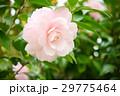 雨上がり・千重咲きピンクの椿1(左上) 29775464