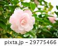 千重咲きピンクの椿3(左) 29775466