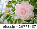 千重咲きピンクの椿4(右上) 29775467