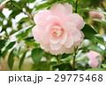 千重咲きピンクの椿5(中心) 29775468