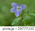 タチツボスミレ スミレ 花の写真 29777135