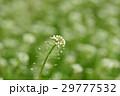 なずな ナズナ 花の写真 29777532