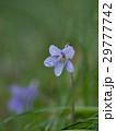 タチツボスミレ スミレ 花の写真 29777742