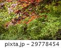 葉 赤 赤いの写真 29778454