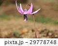 カタクリの花 29778748