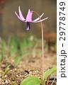 カタクリの花 29778749